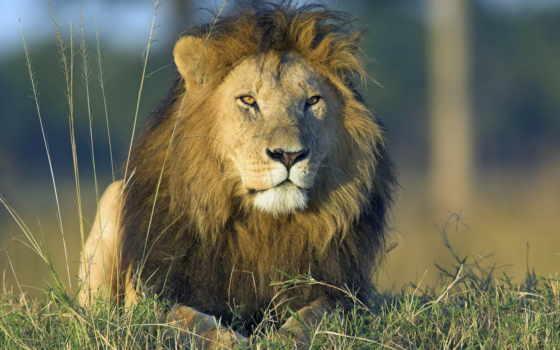 lion, african, kenya