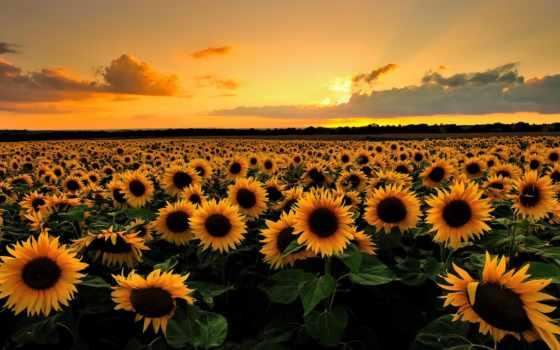 подсолнухи, поле, summer