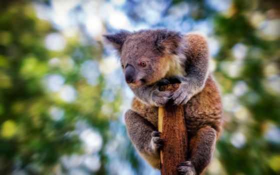 , ветка, коала,