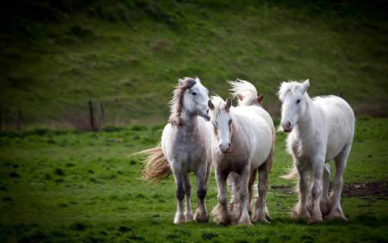 лошади, белых, белые