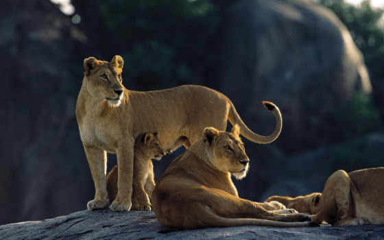семья, львица, хищники