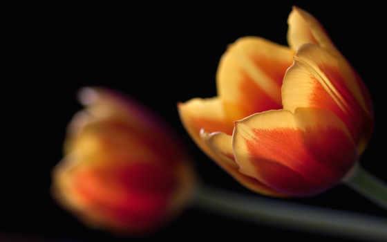 тюльпан, изображение, free