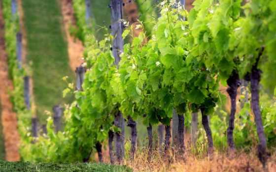 винограда, виноград, garden, урожай, каждый, свой, сады, приобретая, садовод,