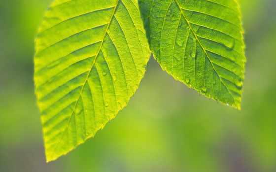 зелёный, увеличивается, листва, июнь, близко, зеленые, листья, картинок, листочки, зелёная, сочная,