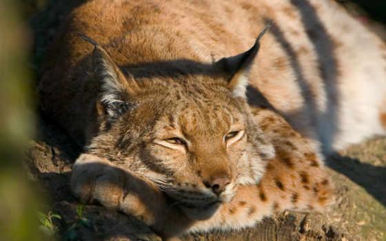 cats, биг, animals, wild, кот, lions, большой, tigers,