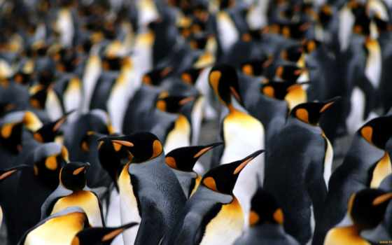 пингвины, пингвинов, императорских