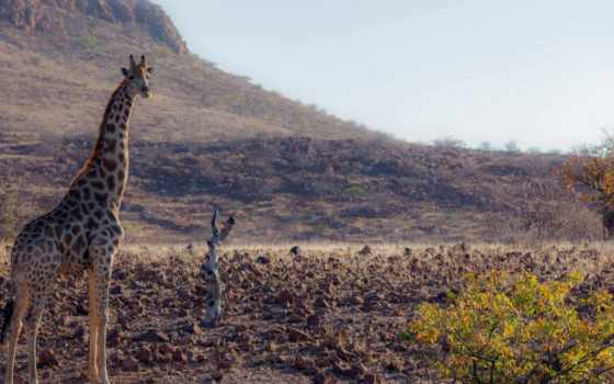 жираф, картинка, жирафов