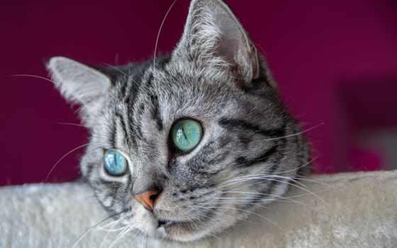 кот, domestic, порода, фото, royalty, mag, shorthair, pikistpage, public, domain, котенок