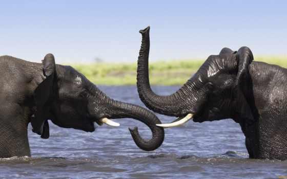 слоны, два, слона