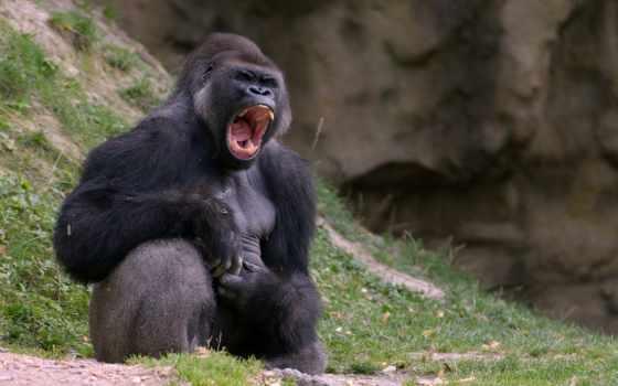 обезьяна, горилла, взгляд, морда, black, трава,