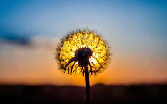 макро, одуванчик, sun, закат, растение, пушистик, природа,