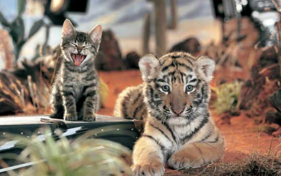кот, тигр, детёныш