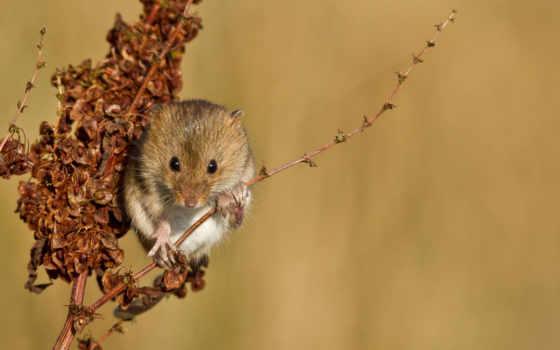 mouse, рыжая, branch, полёвка, растение,