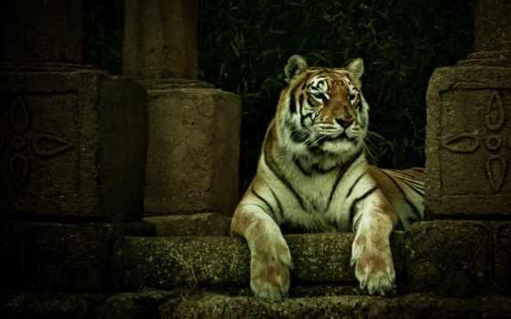 тигр, tigre, parede