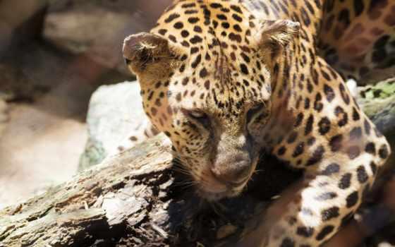 гепард, глаза, eyes