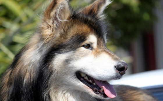 собак, собака, online, породы, pack, щенок, средний,