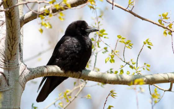 ворона, птица, browse