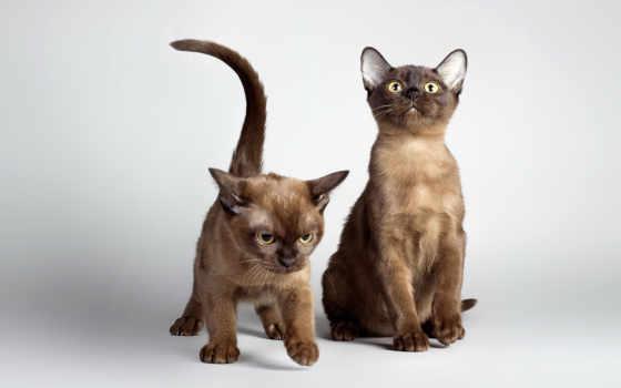 кот, котята, кошки, взгляд, бурманская, house,