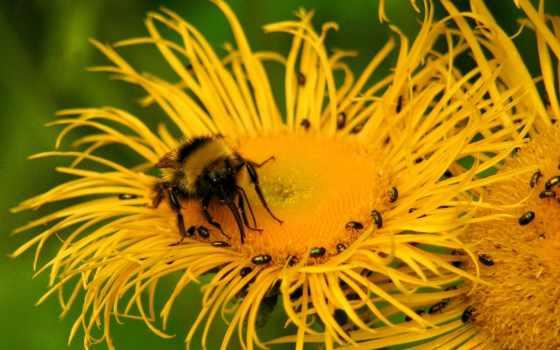 insects, насекомое, пчелы, пчелка, цветы, flowers, photos, desktop, pictures,