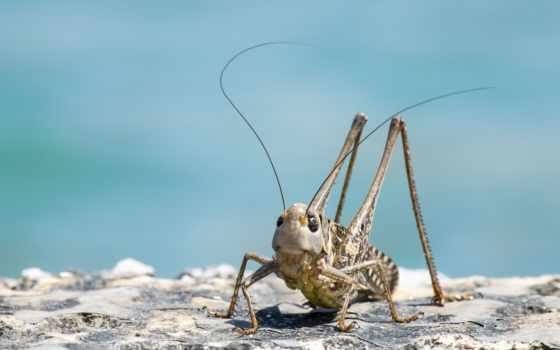 animal, жук, cricket, griechenland, grille, крит, fondos, greece, кузнечик, grashüpfer, gialiskari,
