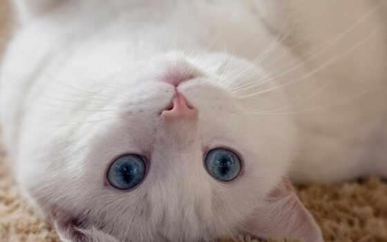 кот, fond, blanc, yeu, au, bleus, ложь, white, красивый