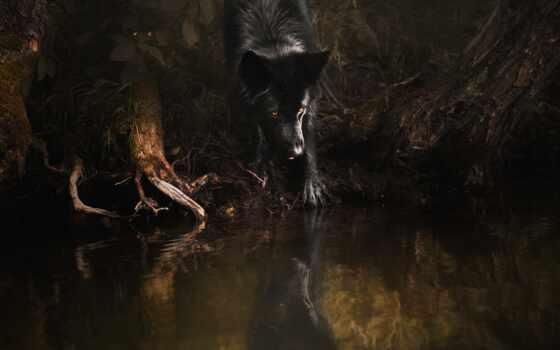 овчарка, german, black, собака, dark, пруд, отражение, берег, поза, побережье, fore
