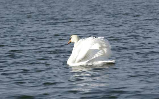 Белый Лебедь Фон № 27369 разрешение 1920x1200