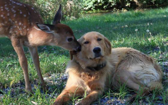 взгляд, собака, fawn