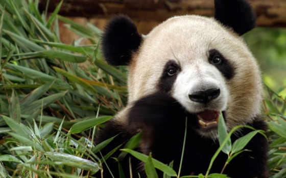 панда, медведь, бамбук