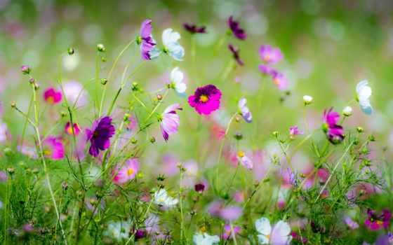 цветы, flowers, страница, весна, природа, размытость, космея, красивые,