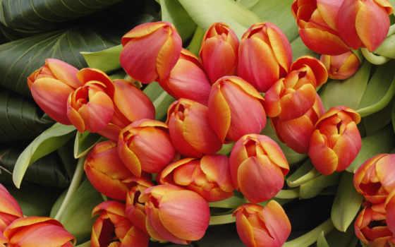 цветы, тюльпаны, растения