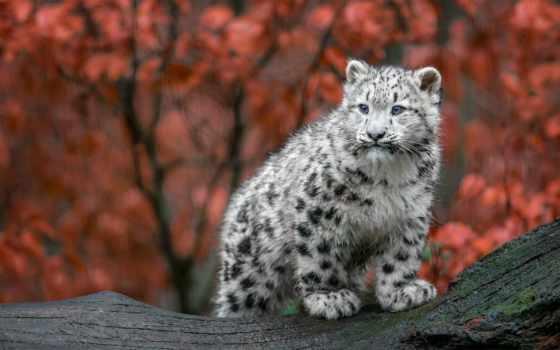 леопард, снег, zhivotnye, кошки, осень, id,