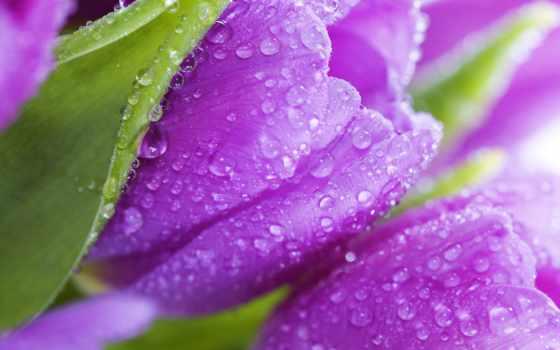 cvety, фиолетовые, flowers, тюльпаны, tulips, фиолетовый, листва, красавица, лепестки,