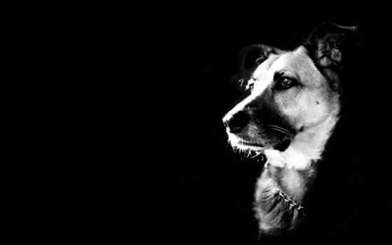 black, white, собака