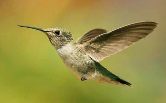 колибри, птица, птицы, клювом, длинным, любой, птичка, названия, бывают, яndex,