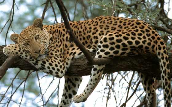 priroda, zhivotnye, качественные, кошки, леопард, дереве, леопарды,