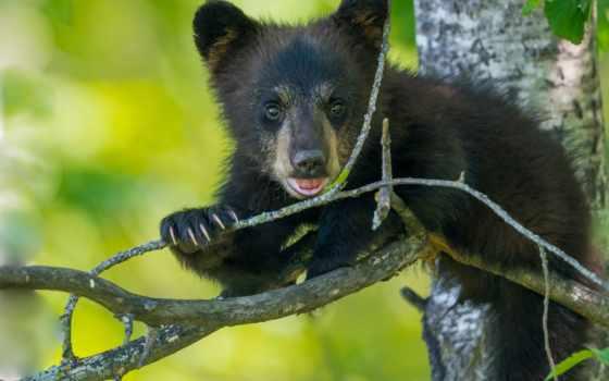 медведи, детёныш, дерево