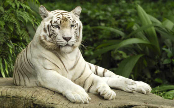 singapore, тигр, white