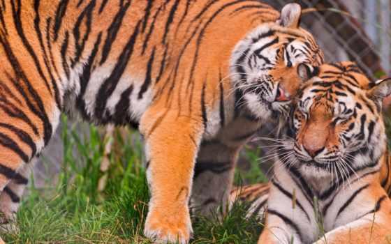 тигр, tigers, love, об, cuddle, images, день, pinterest, more,