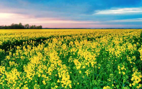 cvety, гречихи, поле, небо, телефон, mobile, зелёный, полевые, yellow, colorful,