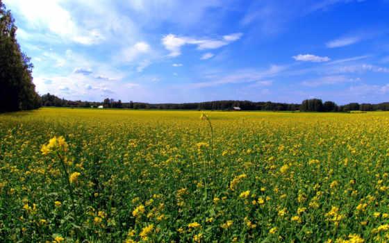 поле, цветов, margin, жёлтое, газоны,