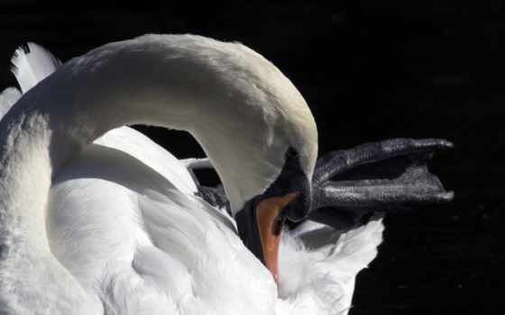 лебедь, freeimages, webbed, foot, black, swans,