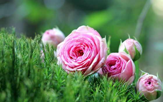 утро, роза, хороший, free, розовый, images, pixabay, flowers, цветы, об,