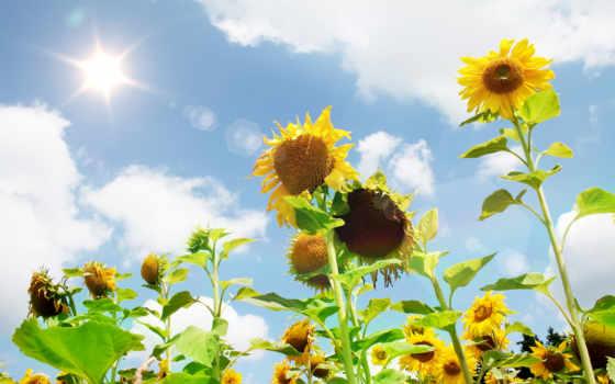 summer, sun, подсолнухи, поле, небо, блики, cvety,