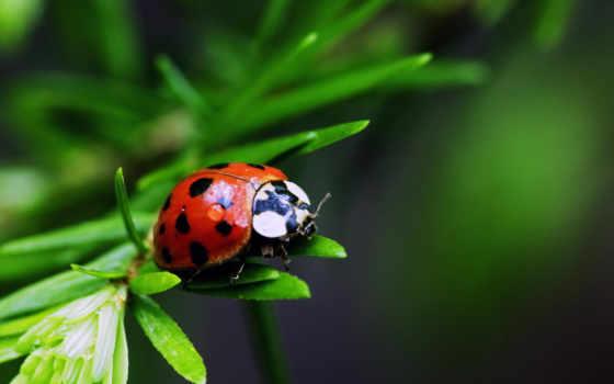 коровка, божья, насекомое, растение, красивая, весь, красивые, экран,