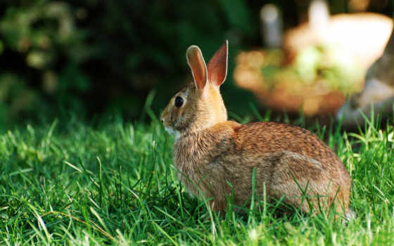 кролик, desktop, wild