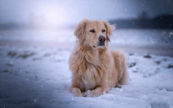 retriever, золотистый, собака, снег, порода, new, goldennyi