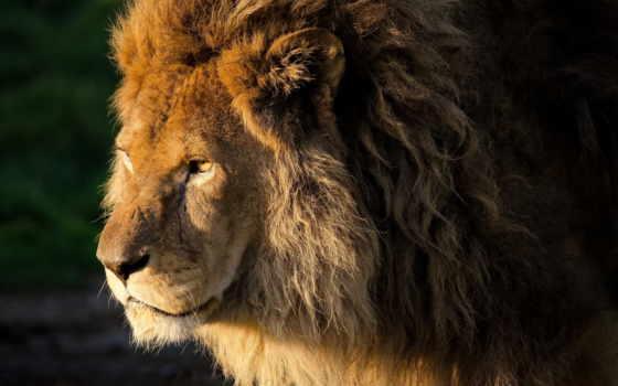 lion, взгляд, грива Фон № 73267 разрешение 2560x1600