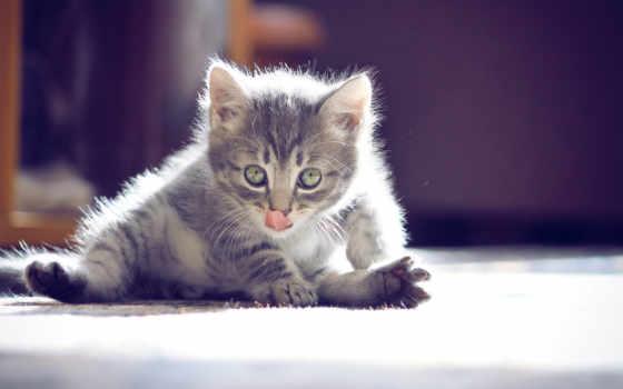 котенок, nice, усы, язык, лапы, пушыстик,