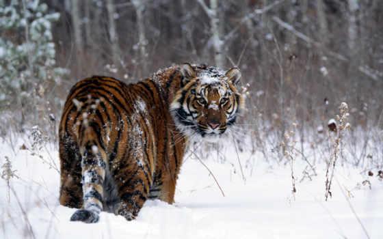тигр, снегу, zhivotnye